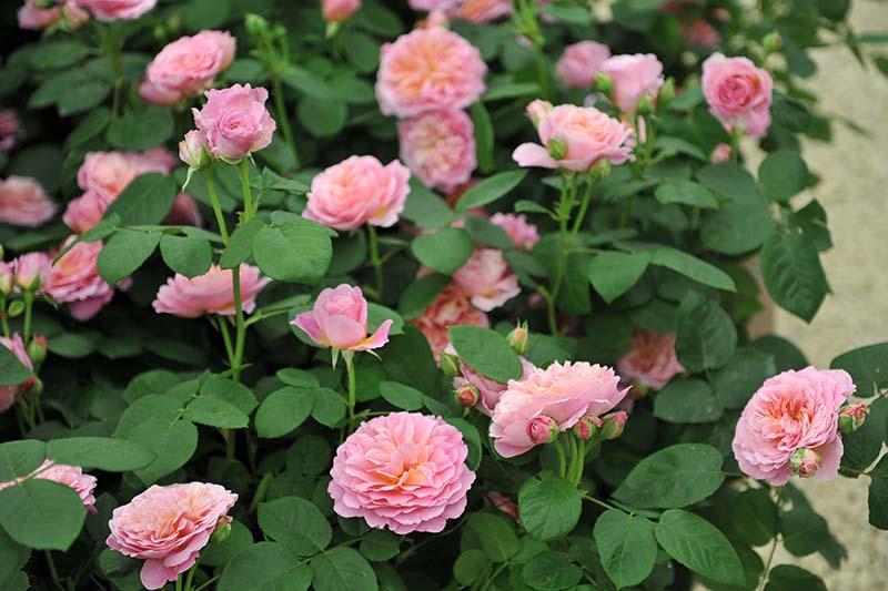 A close up horizontal image of 'Eustacia Vye' David Austin flowers growing in the garden.