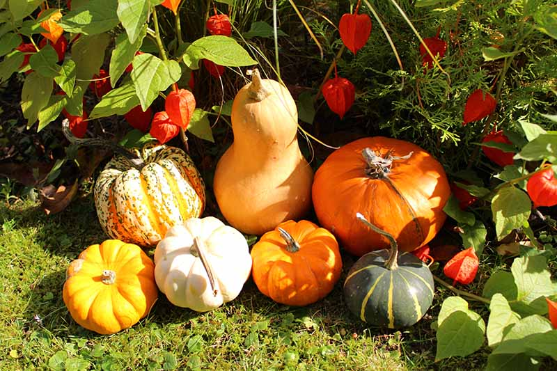 A close up horizontal image of freshly harvested pumpkins with Chinese lantern fruits in the background pictured in bright sunshine.