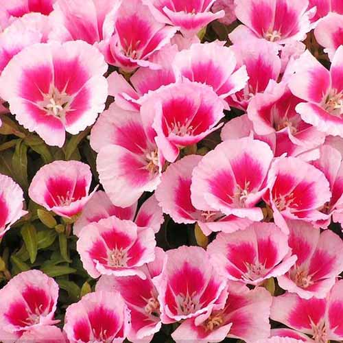 A close up square image of pink and cream Clarkia amoena 'Farewell to Spring' flowers growing in the garden.