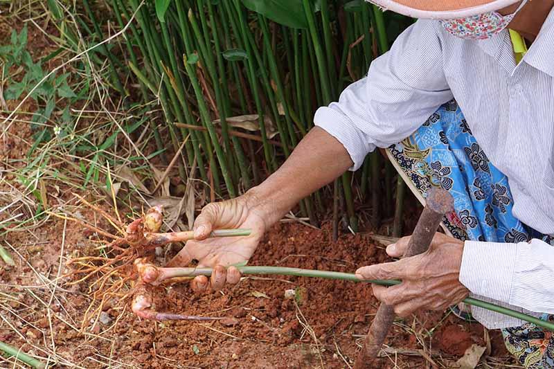 A close up horizontal image of a gardener digging up galangal (Alpinia galanga) rhizomes.