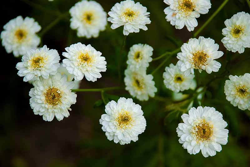 A close up horizontal image of Tanacetum parthenium 'Double White' pictured on a soft focus background.