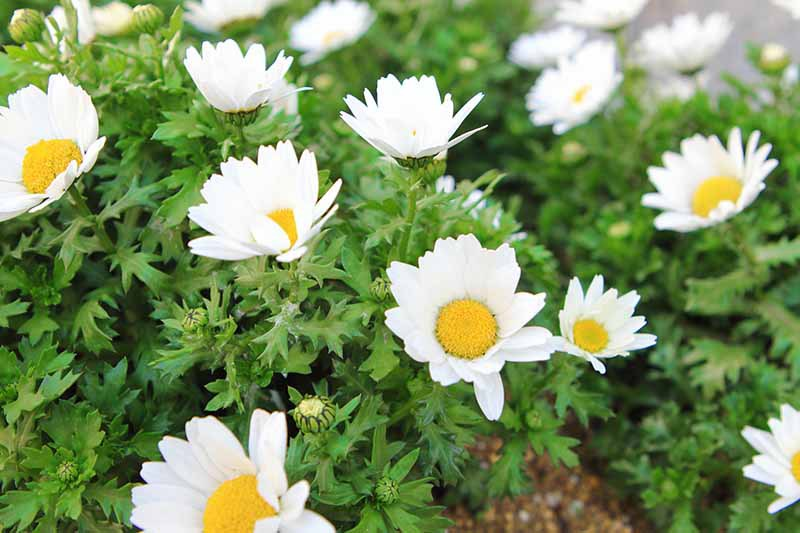 A close up horizontal image of small white Tanacetum parthenium flowers growing in a garden bed.