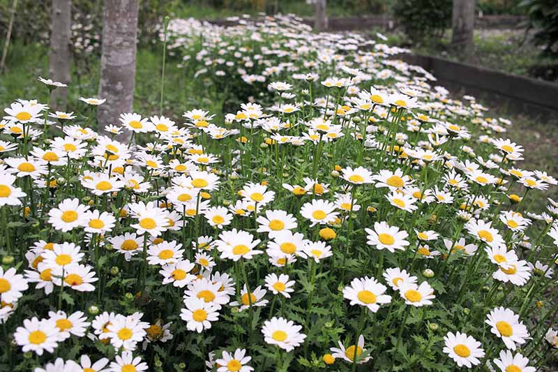 A close up horizontal image of a large swath of feverfew (Tanacetum parthenium) in full bloom growing in a woodland location.