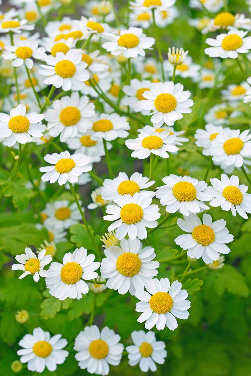 A close up vertical image of a large swath of flowering feverfew (Tanacetum parthenium) growing in the garden.