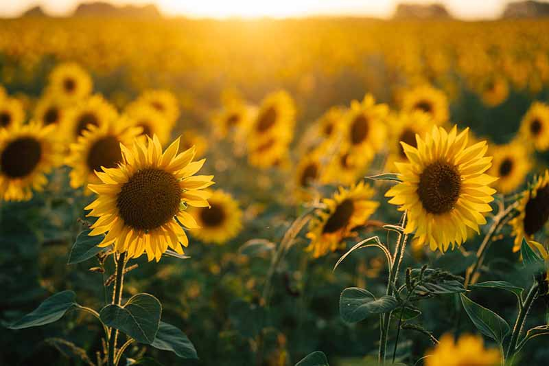 A close up horizontal image of a field of sunflowers pictured in the evening light fading to soft focus in the background.