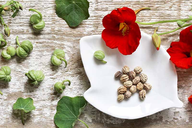 A close up horizontal image of nasturtium seeds, pods, and flowers set on a white ceramic plate on a wooden surface.