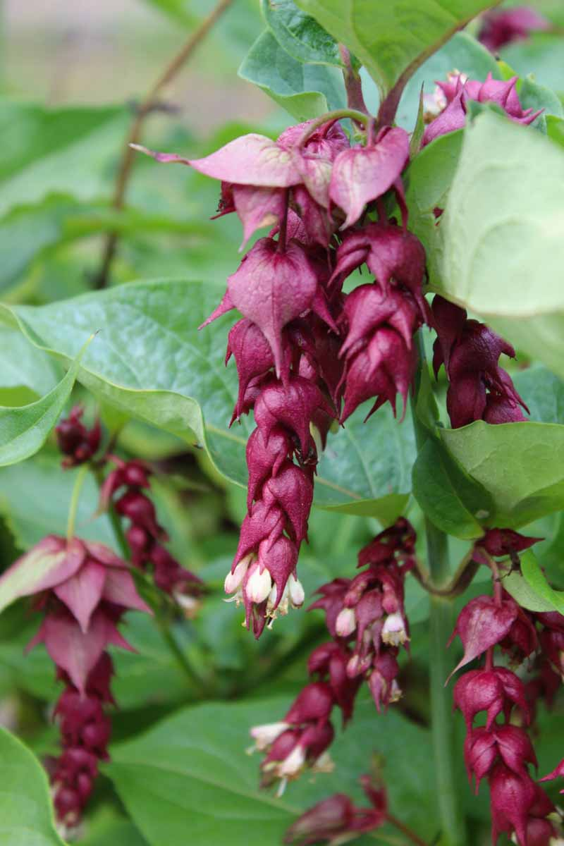 A close up vertical image of the purple bracts and tiny white flowers of Leycesteria formosa with foliage in soft focus in the background.