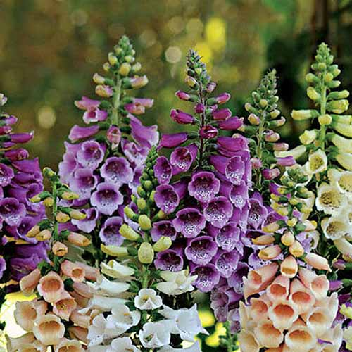 A close up square image of Digitalis 'Foxy' flowers in a variety of different colors pictured on a soft focus background.
