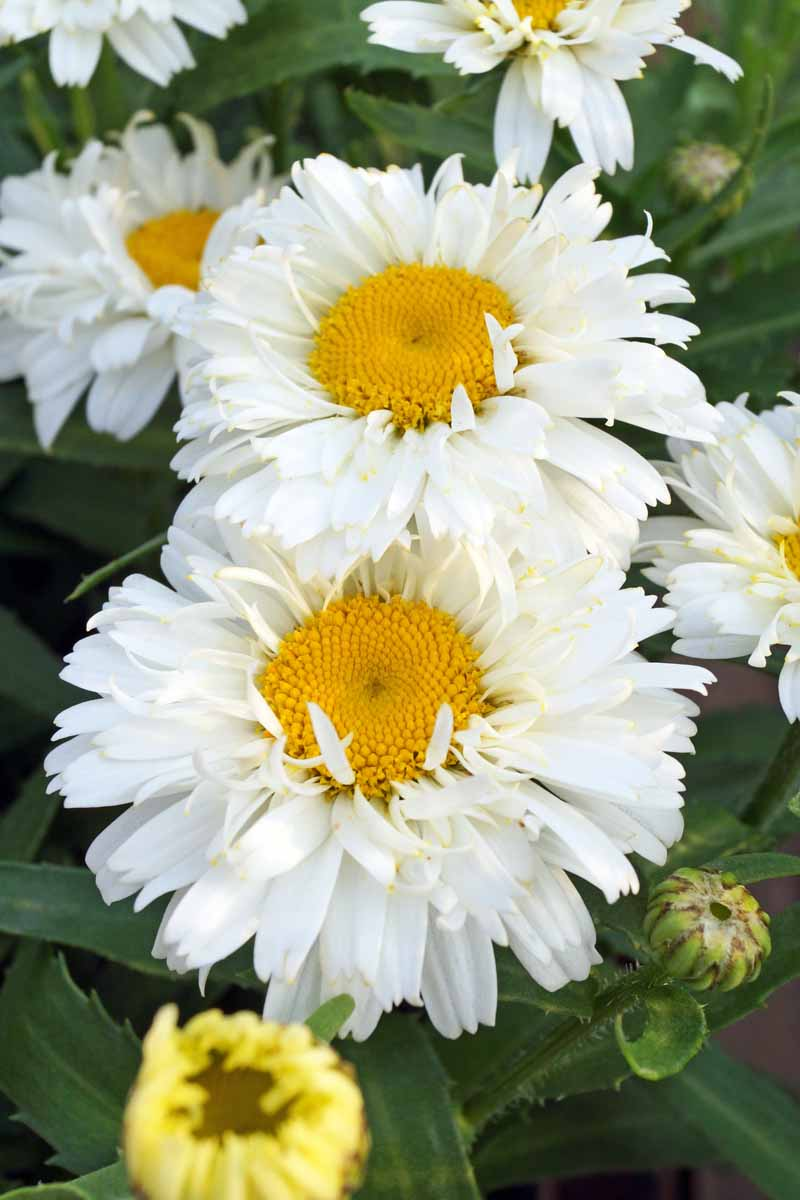 A close up vertical image of Leucanthemum x superbum 'Freak' flowers growing in the garden pictured on a soft focus background.