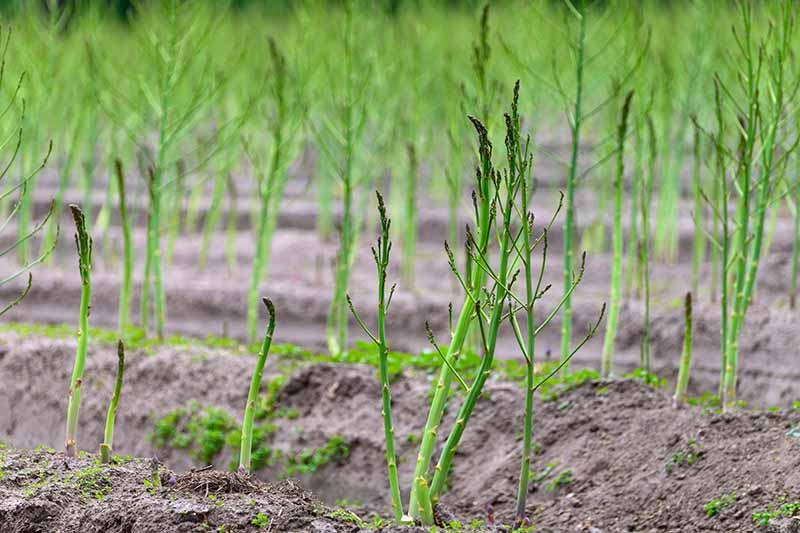 A close up horizontal image of rows of asparagus spears sprouting in the garden.