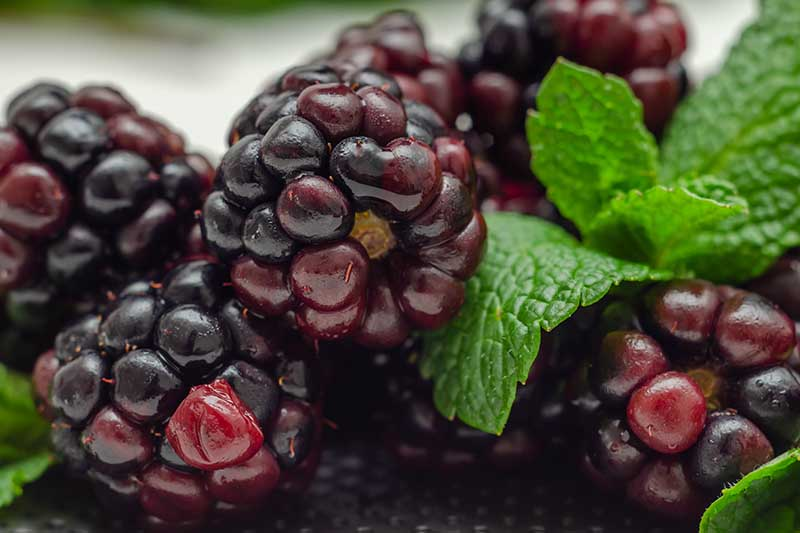 A close up horizontal image of freshly harvested blackberries with mint to the right of the frame.