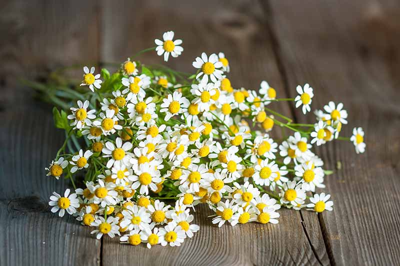 A close up horizontal image of a freshly harvested bunch of feverfew (Tanacetum parthenium) flowers set on a wooden surface.
