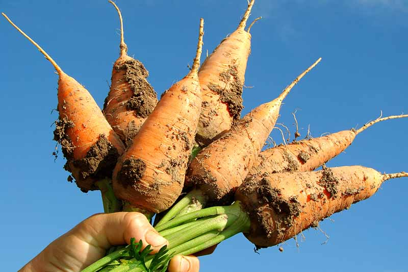 A close up horizontal image of a hand from the bottom of the frame holding up a bunch of freshly harvested 'Chantenay' carrots on a blue sky background.