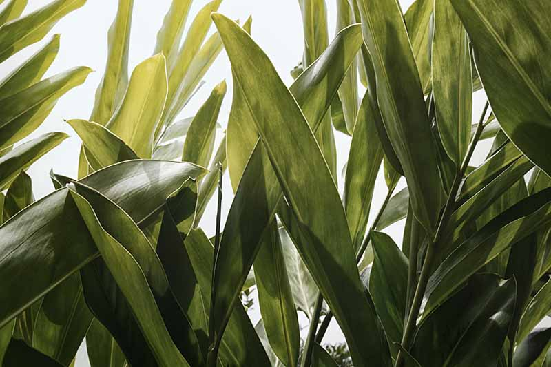 A close up horizontal image of the foliage of Alpinia galanga plant growing in the garden.