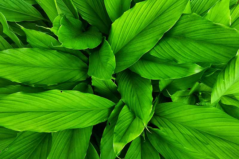A close up horizontal image of the bright green foliage of Alpinia galanga growing in the garden.