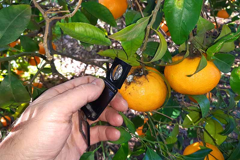 A close up horizontal image of a gardener holding a magnifying glass to inspect a citrus fruit suffering from a pest infestation.