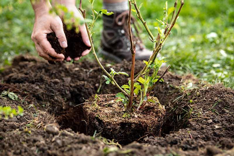 A close up horizontal image of a gardener planting a Rubus fruticosus plant into the garden.