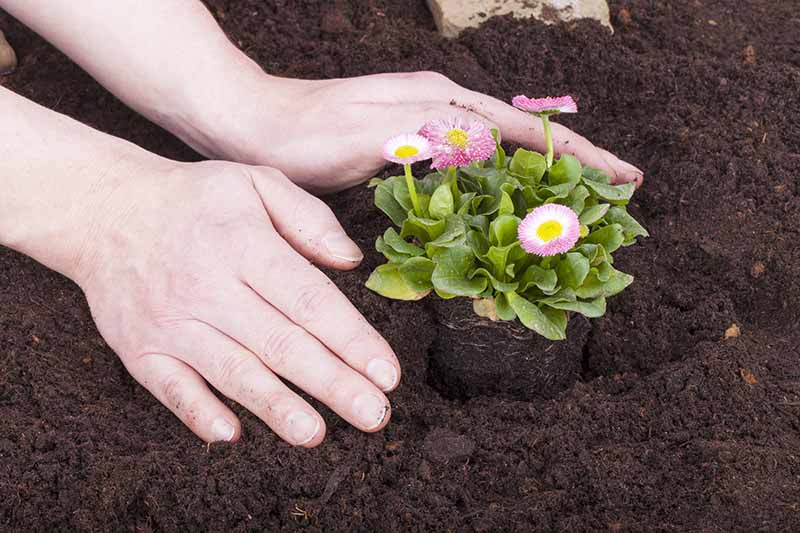 A close up horizontal image of two hands from the left of the frame transplanting a small Bellis perennis (English daisy) plant into rich soil.