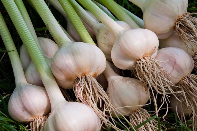 Harvested garlic with bulbs and scapes.