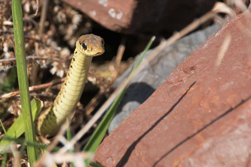 A close up horizontal image of a young garter snake hiding in vegetation and rocks.