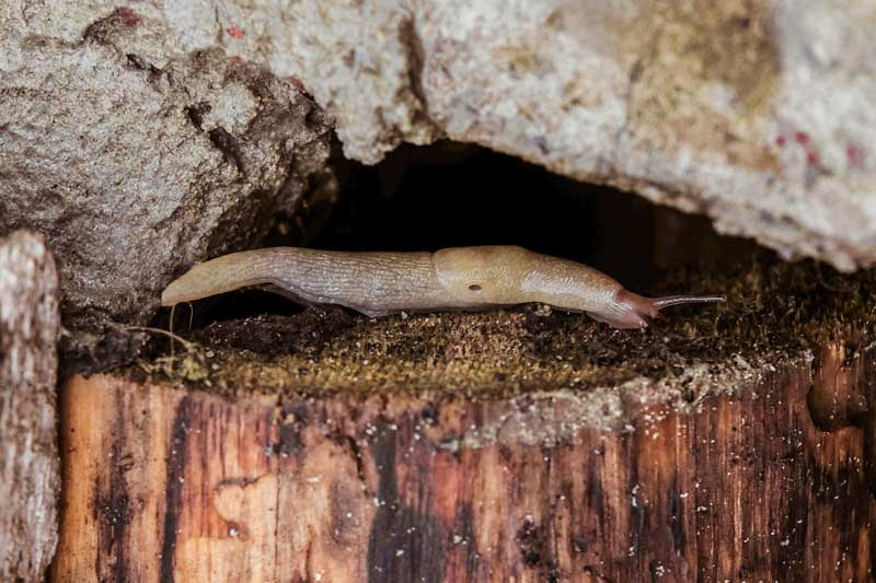 A close up horizontal image of a slug hiding in a crevice between a rock and wooden stump.