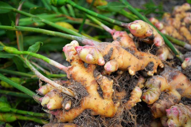 Freshly dug harvested ginger root.