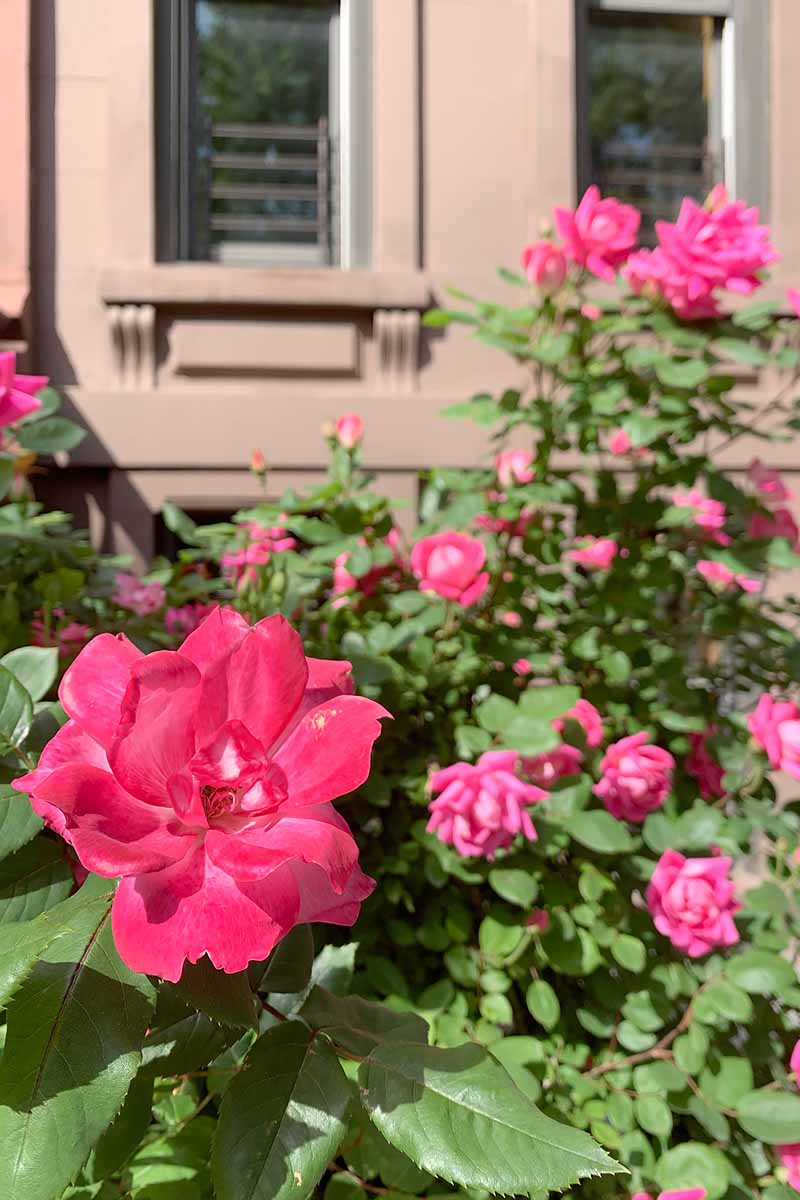 A vertical image of bright pink hardy roses growing outside a residence pictured in bright sunshine.