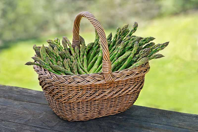 A close up horizontal image of a wicker basket filled with freshly harvested asparagus set on a wooden surface pictured on a soft focus background.