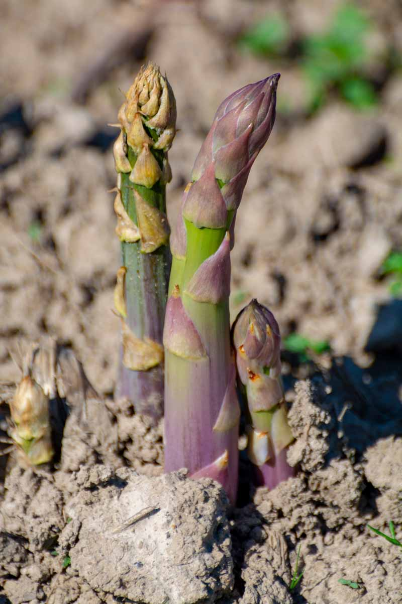 A close up vertical image of asparagus spears growing in a sunny garden.