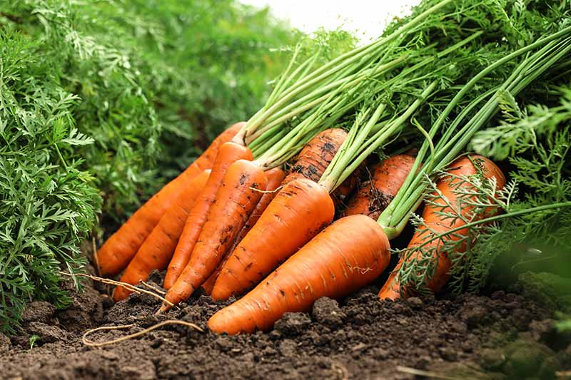 A close up horizontal image of a pile of 'Chantenay' carrots freshly harvested in a pile on the soil surface.