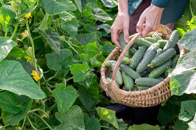A close up horizontal image of a gardening picking ripe cucumbers and setting them in a wicker basket.