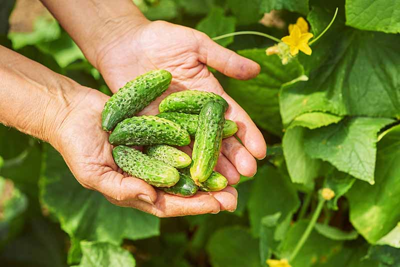 A close up horizontal image of two hands from the right of the frame holding a palm full of small cucumbers freshly harvested.