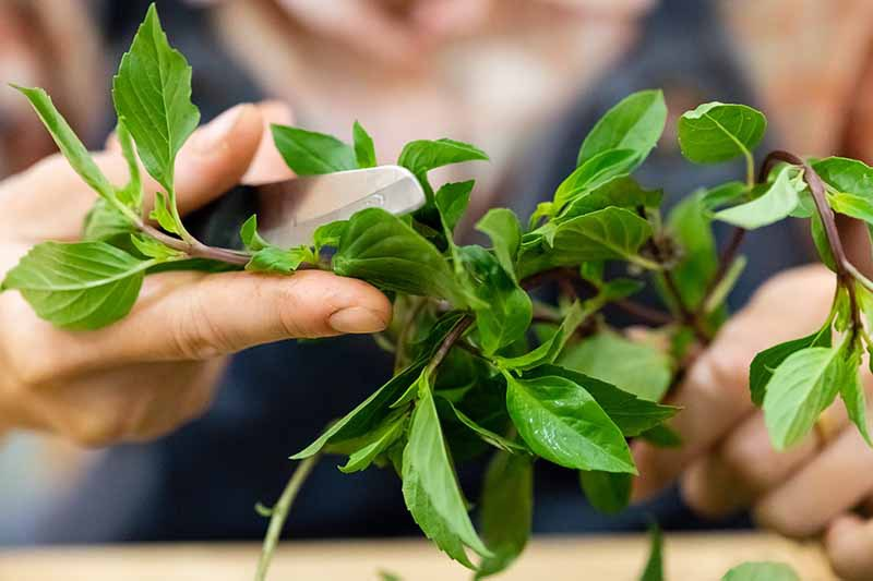 A close up horizontal image of a hand from the left of the frame holding a knife and cutting the leaves off a recently harvested Thai basil stem.