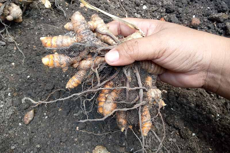 A close up horizontal image of a hand from the right of the frame harvesting turmeric rhizomes from the garden.
