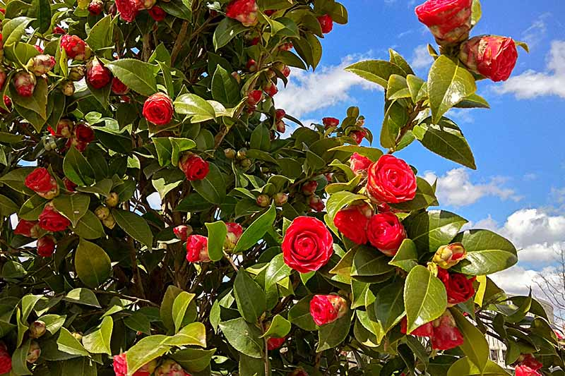 A horizontal image of a camellia shrub growing in a sunny garden pictured on a blue sky background.