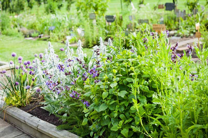 Herb garden with chives, lavender, rosemary, mint, catnip and many others.