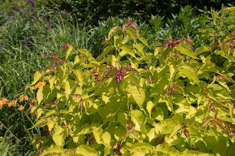 A close up horizontal image of a Leycesteria formosa shrub growing in a garden border.