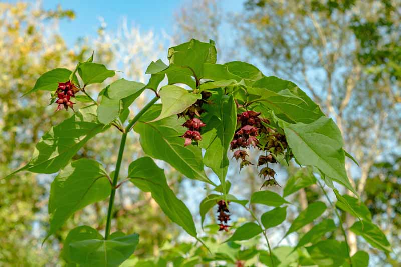 A close up horizontal image of Leycesteria formosa growing in the garden with bright green foliage and purple bracts with blue sky in the background.