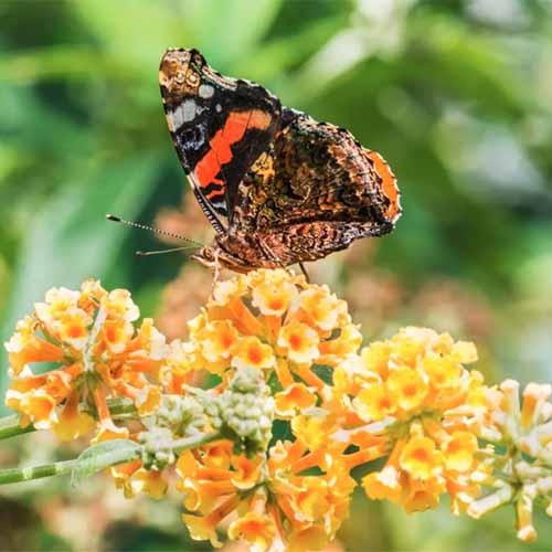 A close up square image of Buddleia 'Honeycomb' flowers with a butterfly landing on the orange petals.