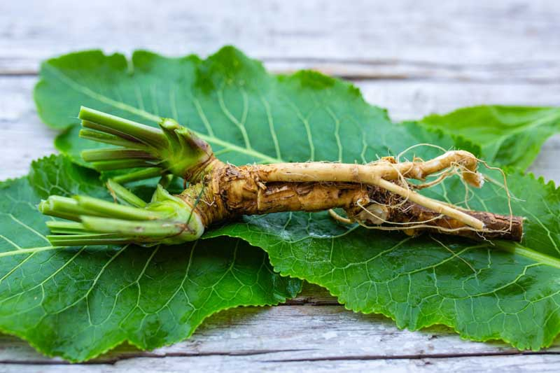 Fresh horseradish leaves and root from the garden.