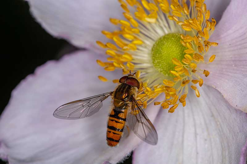 A close up horizontal image of a hoverfly feeding on the pollen of Anemone cylindrica pictured on a soft focus background.