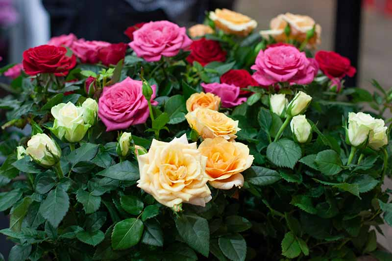 A close up horizontal image of a bunch of roses pictured on a soft focus background.
