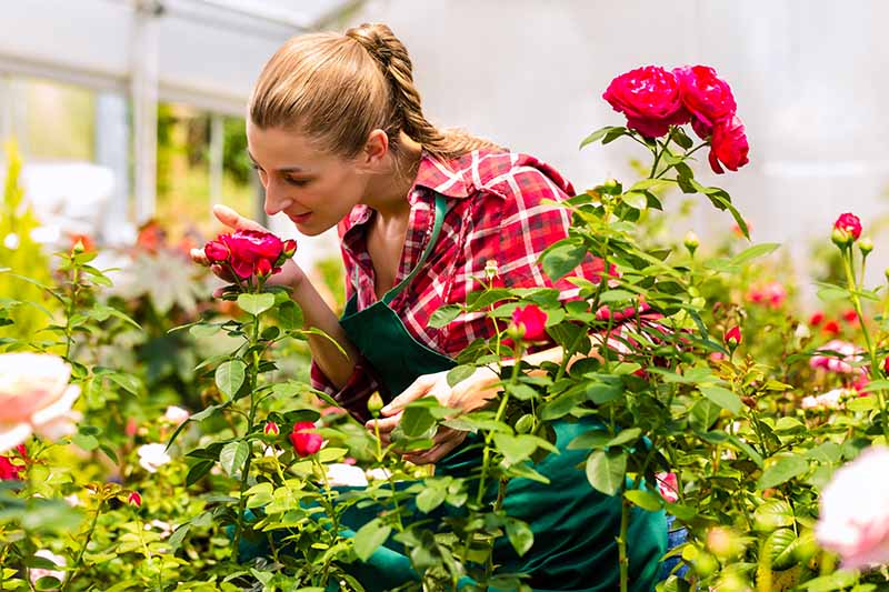 A close up horizontal image of a gardener inspecting a rose flower growing in a nursery.