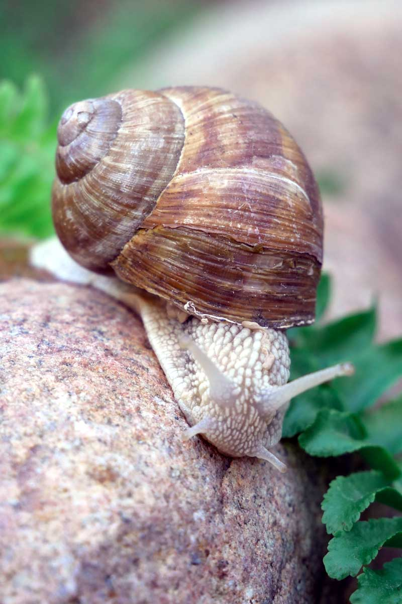 A close up vertical image of a common Roman snail on a smooth rock.