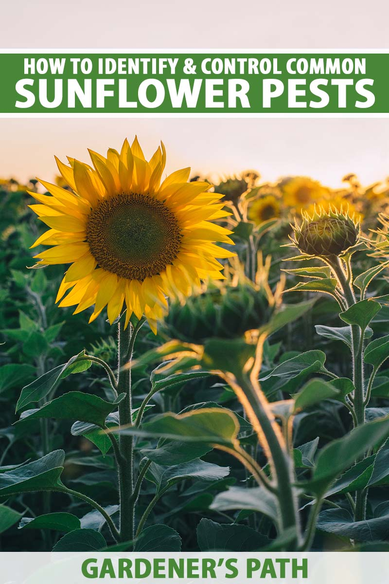 A close up vertical image of a field of sunflowers in the evening sun. To the top and bottom of the frame is green and white printed text.