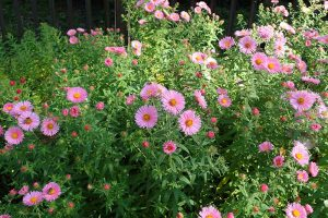 How to Grow and Care for Asters