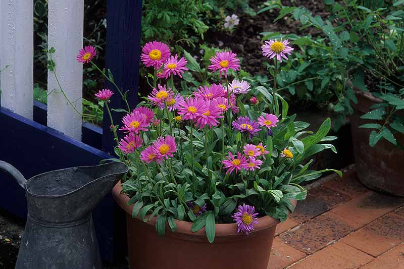 A close up horizontal image of pink asters growing in a terra cotta pot on a tiled patio.
