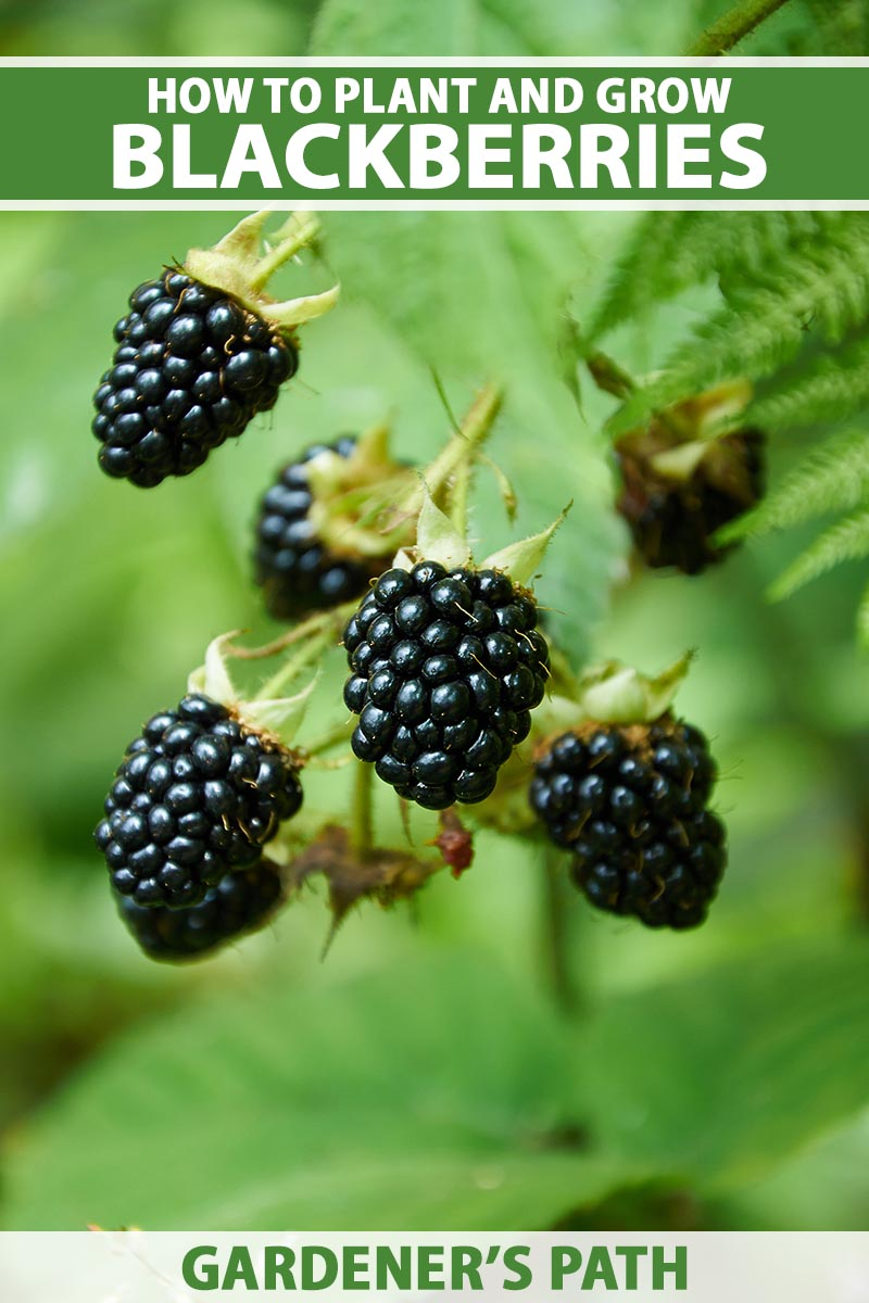 A close up vertical image of ripe blackberries ready for harvest pictured on a soft focus background. To the top and bottom of the frame is green and white printed text.