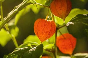 How to Grow and Care for Chinese Lantern