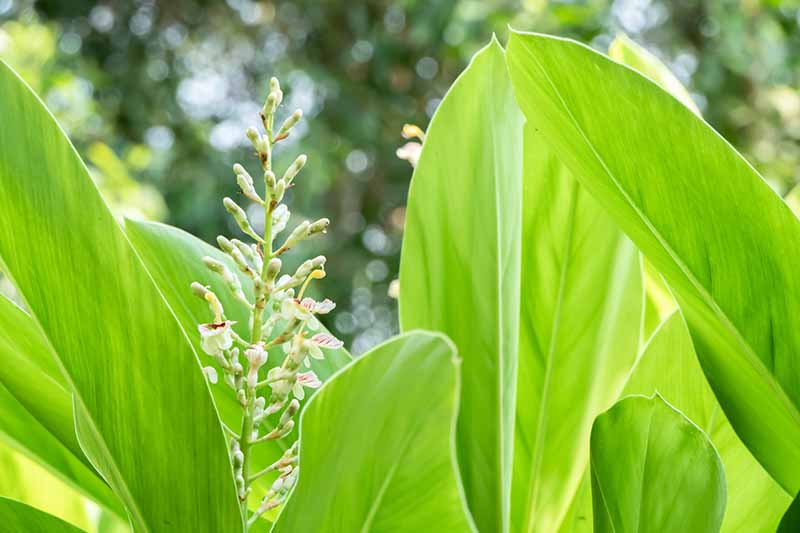 A close up horizontal image of galangal (Alpinia galanga) growing in the garden with light green foliage and white flowers pictured on a soft focus background.